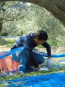 Cueillette des olives strictement manuelle