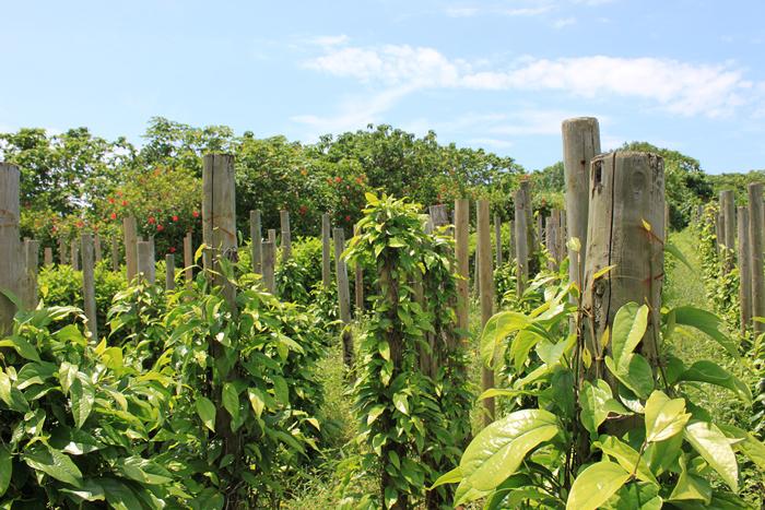 Plantation de poivre long