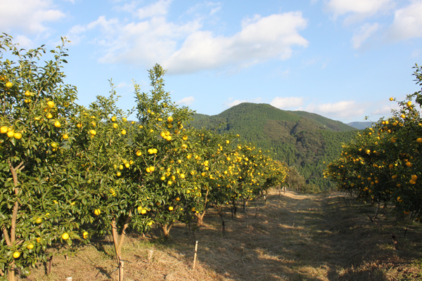 Un champ d'arbres à Yuzu.