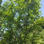 L'arbre du sansho raisin