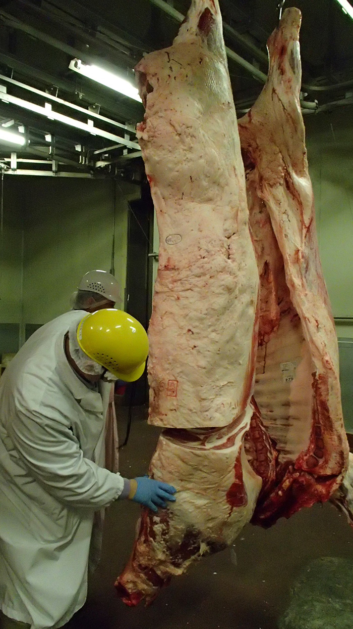 Ouverture entre la 6ème et la 7ème côte pour juger de la qualité de la viande et du persillé