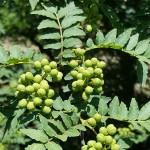 Le sansho raisin, dont la pousse des baies rappelle une grappe de raisin.