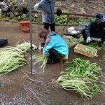 Nettoyage et parage du wasabi