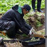 Récolte du wasabi