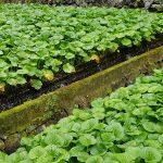 Plantation de wasabi