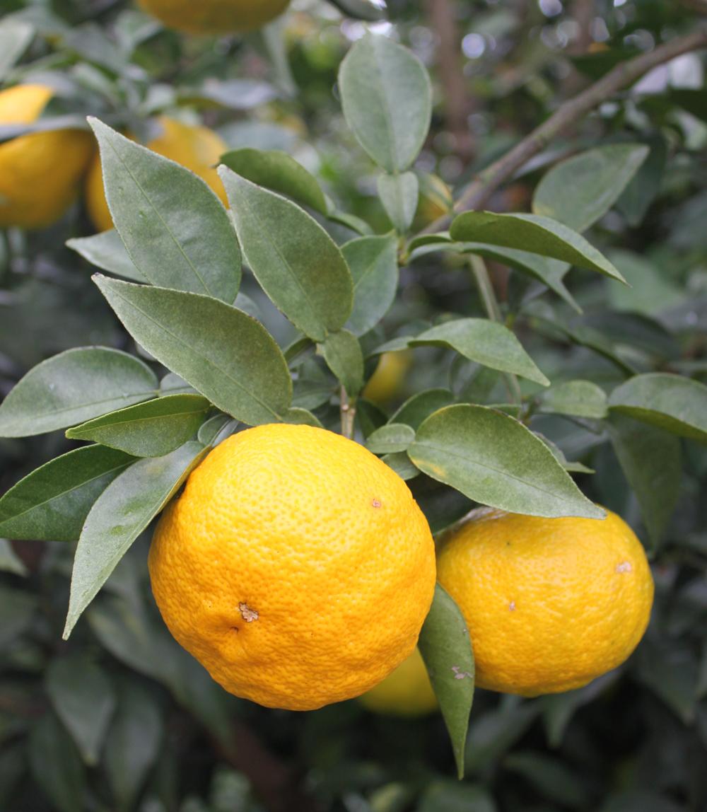 Le Yuzu, agrume de la famille du Citrus Junos.