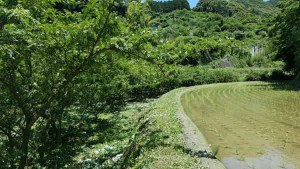 Les arbres à sansho plantés à Wakayama