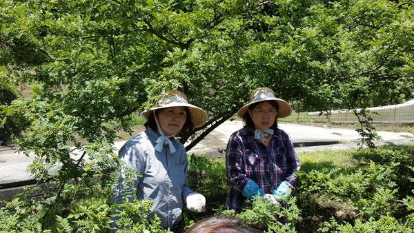 La récolte des baies sansho.