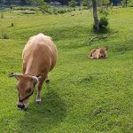 Des bovins Tosa Akaushi