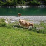 Les bovins profitent du magnifique cadre de la préfecture de Kôchi