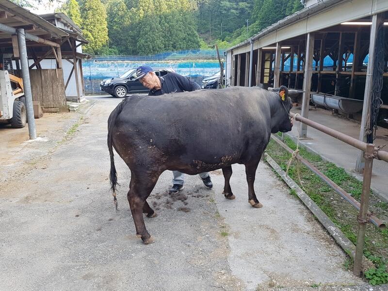 Boeuf Matsusaka à la ferme d'Okasa San