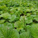 Fleurs du wasabi
