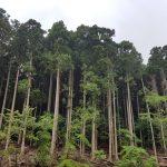 Forêt de cèdres immenses