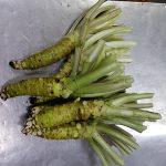 Le misho wasabi, racine, tige, feuille vertes