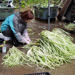 Nettoyage du wasabi