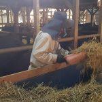 Rationnage de la paille de riz pour les boeufs Matsusaka