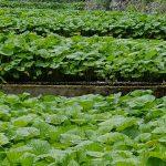 Terrasses de wasabi